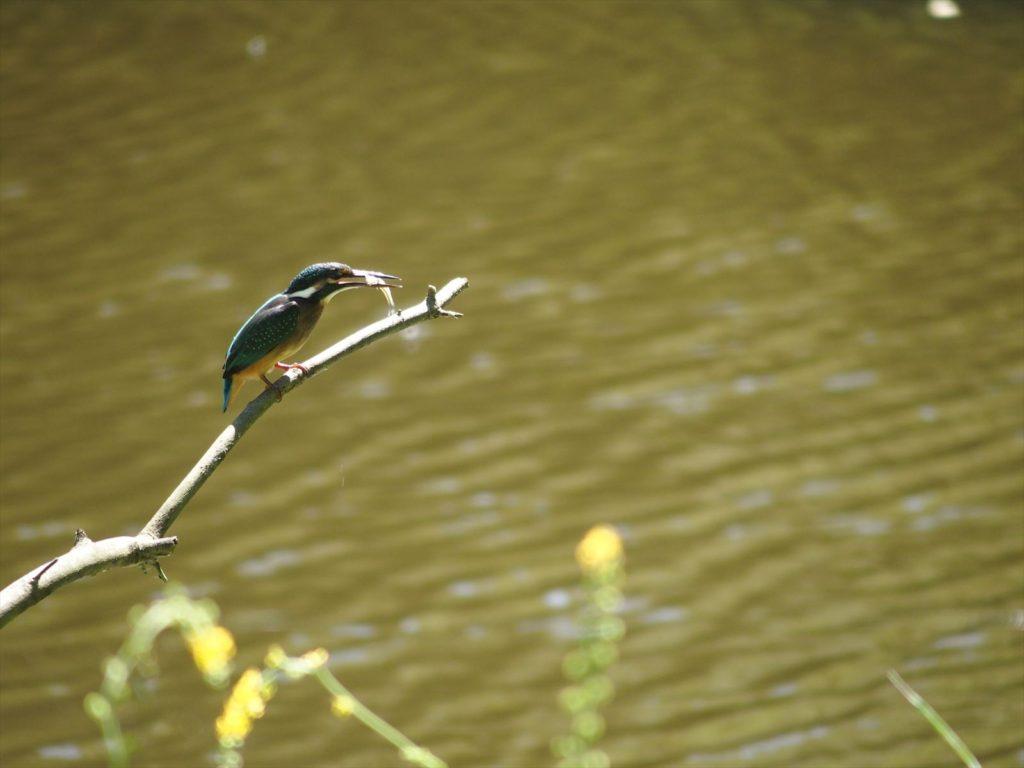 カワセミ(野鳥)