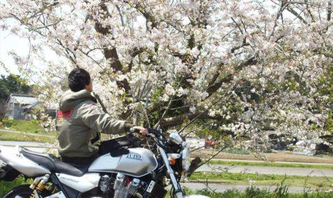 バイク乗りと桜
