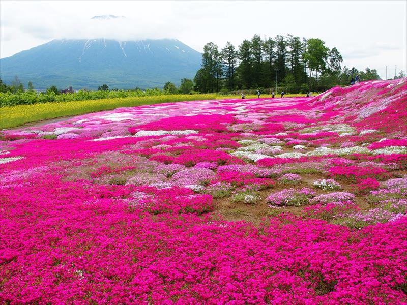 三島さんの芝ざくら庭園と羊蹄山
