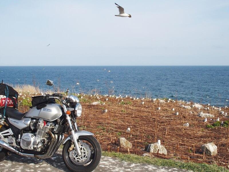 天売島のウミネコの集団