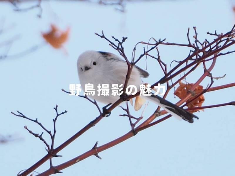 野鳥撮影の魅力
